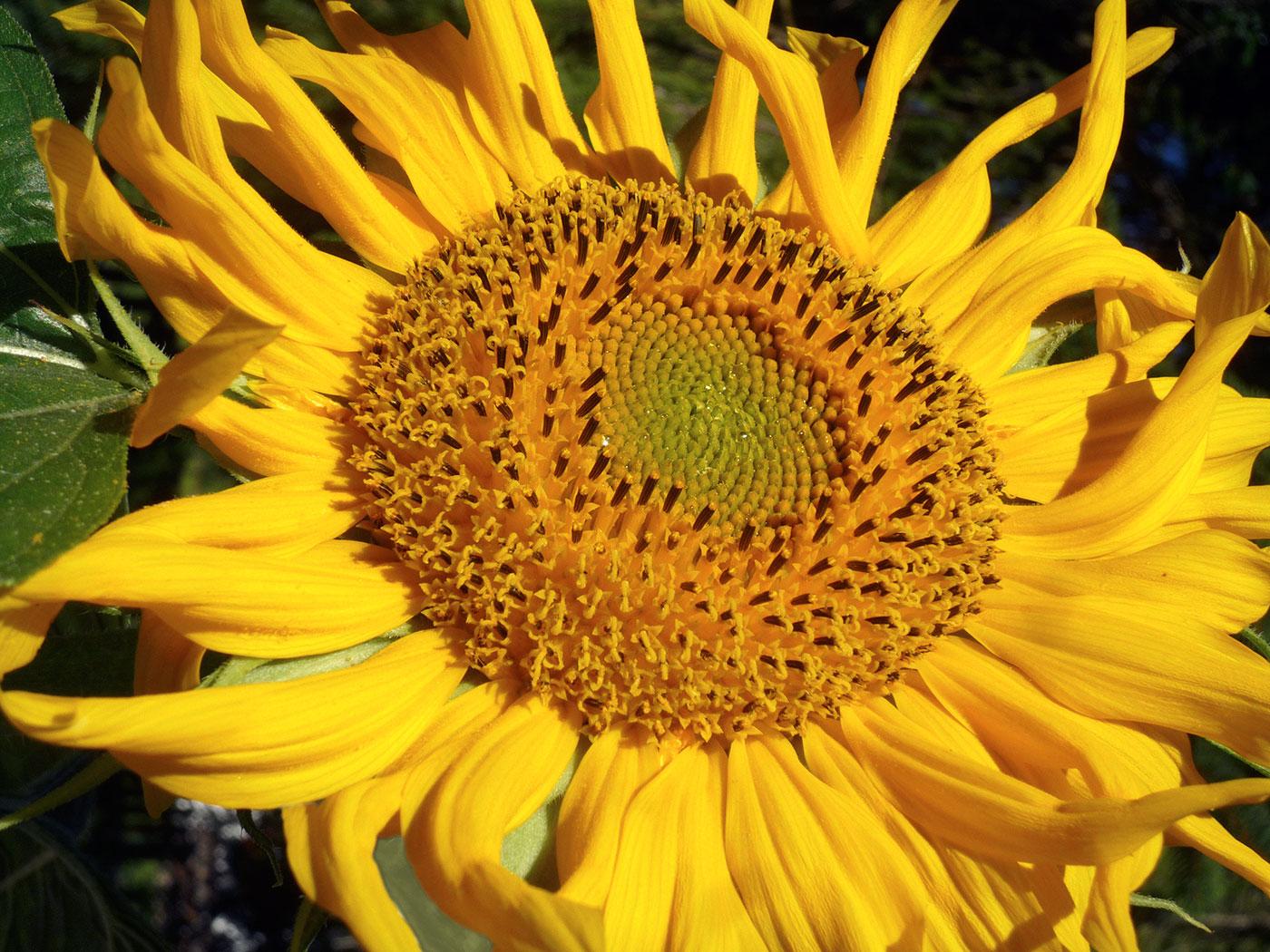 Sonnenblume | Stiftungsfonds Heilwig